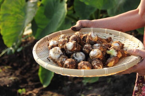 里芋の収穫体験のご案内
